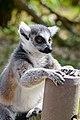 Lemur (27618289298).jpg