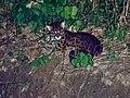 Leopard Cat (14839635578).jpg