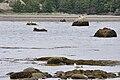 Les phoques de la Pointe aux Épinettes.jpg