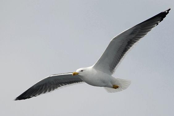 Lesser Black Backed Gull 03.jpg