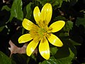 Lesser Celandine (Ficaria verna syn. Ranunculus ficaria) (8725868312).jpg