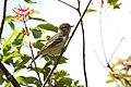Lesser Elaenia (Elaenia chiriquensis) (4505527104).jpg