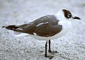 Leucophaeus pipixcan winter.jpg
