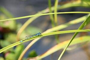 Une libellule sur un roseau