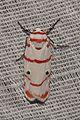 Lichen moth Cyana sp. (16995262926).jpg