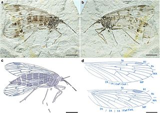Mesopsychidae
