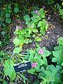 Ligularia Makrophylla 2007-06-02 (plant).jpg