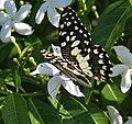 Lime Butterfly (Papilio demoleus) in Hyderabad, AP W IMG 9546.jpg