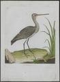 Limosa aegocephala - 1790-1796 - Print - Iconographia Zoologica - Special Collections University of Amsterdam - UBA01 IZ17400009.tif