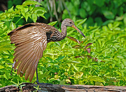meaning of limpkin