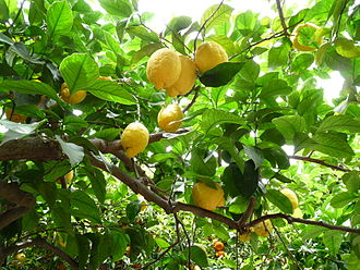 Kalbids - Citrus fruit, like lemons, are said to have been introduced to Sicily under the Kalbids