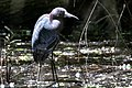 Little Blue Heron Boy Scout Woods TX 2018-04-16 12-52-00 (41229260214).jpg