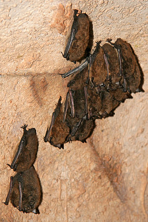 Little brown bats in Endless Caverns, Virginia...