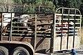Livestock04.tif (25003786808).jpg