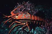 California spiny lobster, Panulirus interruptus