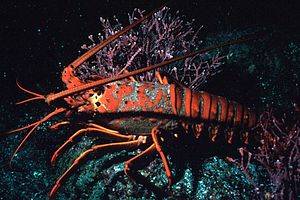 California spiny lobster - California spiny lobster
