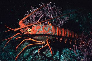 <i>Panulirus</i> genus of crustaceans