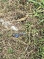 Local Lizard lying egg 02.jpg