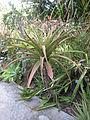 Lomatophyllum purpureum - Jardin d'Éden.JPG