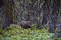 Lone Deer, Okanogan National Forest, WA (4629053051).jpg
