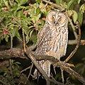 Long-eared owl (41952222800).jpg
