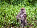 Long-tailed (or Crab-eating) Macaque (14177408853).jpg