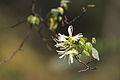 Loropetalum chinense - Shangrao, Jiangxi 2014.03.23 14-02-33.jpg