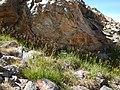 Luzula parviflora (28586180703).jpg