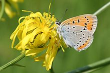 Lycaena dispar female Obersulm 20070718 1.jpg