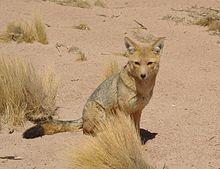 Lycalopex Culpaeus Wikipedia La Enciclopedia Libre