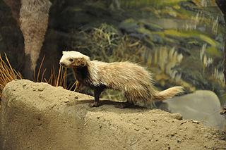 Patagonian weasel species of mammal
