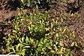 Lyonia lucida 3zz.jpg