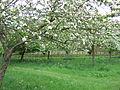 Lytes Cary 2009 Orchard.JPG