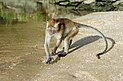 Macaca fascicularis Ao Nang 1.jpg