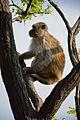 Macaca mulatta - Shimla 2014-05-07 1386.JPG
