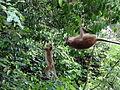 Macaca sinica in Dambulla 02.JPG