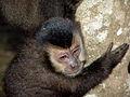Macaco prego Manduri 060811 REFON 27.JPG