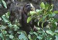Macaque maure nourriture.jpg