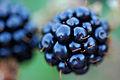 Macro of blackberry.jpg