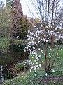 Magniolienblüte im Watthalden - Park in Ettlingen, Albtal - panoramio (1).jpg
