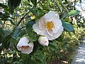 Magnolia Plantation and Gardens - Charleston, South Carolina (8556508596).jpg