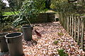 Magnolia x soulangeana maintenance problem.JPG