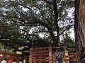 Maha Bodhi tree.jpg