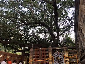 Faith in Buddhism - The Bodhi Tree located at Bodh Gaya, where traditional accounts situate the Buddha's Enlightenment.