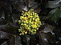 Mahonia aquifolium 2016-04-19 8159.jpg