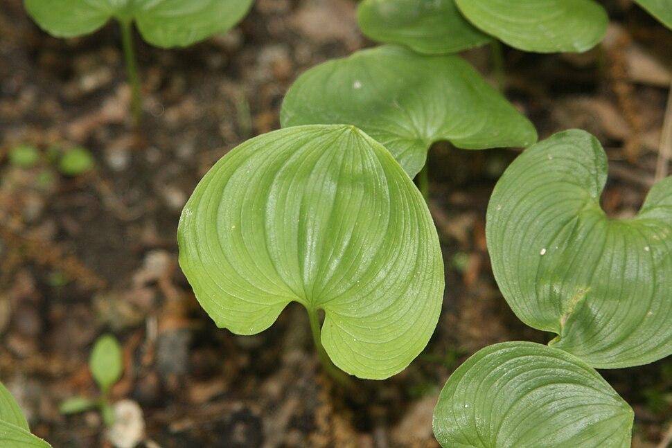 Maianthemum bifolium 2