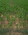 Maisfeld bei anhaltender Trockenheit HD.JPG