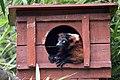 Maki Vari roux (Zoo Amiens).JPG