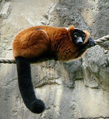 Red Ruffed Lemur lying on a rope, resting head on overlapping hands