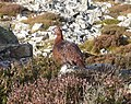 Male Red Grouse Stiperstones.jpg